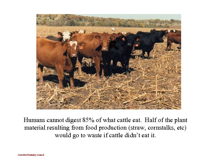 Humans cannot digest 85% of what cattle eat. Half of the plant material resulting