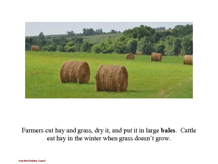Farmers cut hay and grass, dry it, and put it in large bales. Cattle