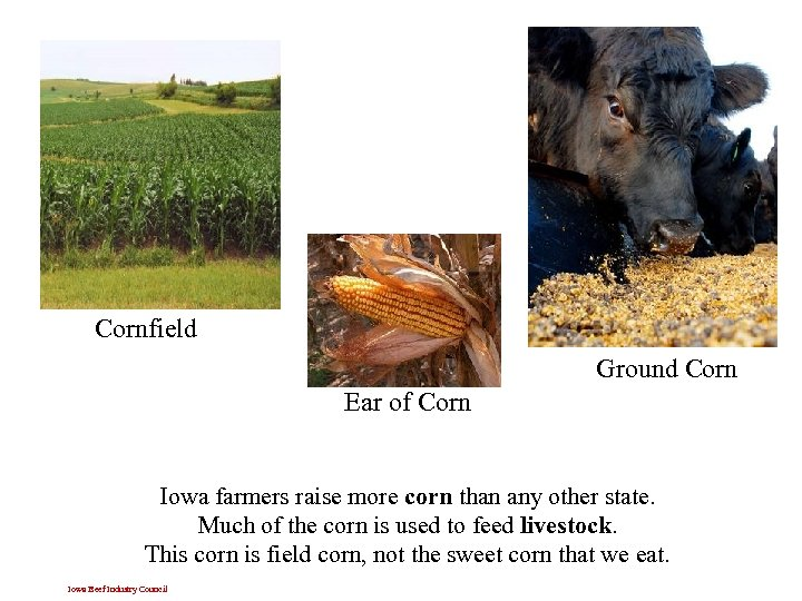 Cornfield Ground Corn Ear of Corn Iowa farmers raise more corn than any other