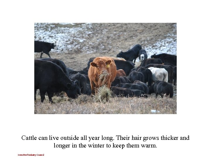 Cattle can live outside all year long. Their hair grows thicker and longer in