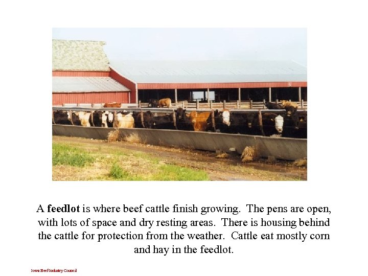 A feedlot is where beef cattle finish growing. The pens are open, with lots