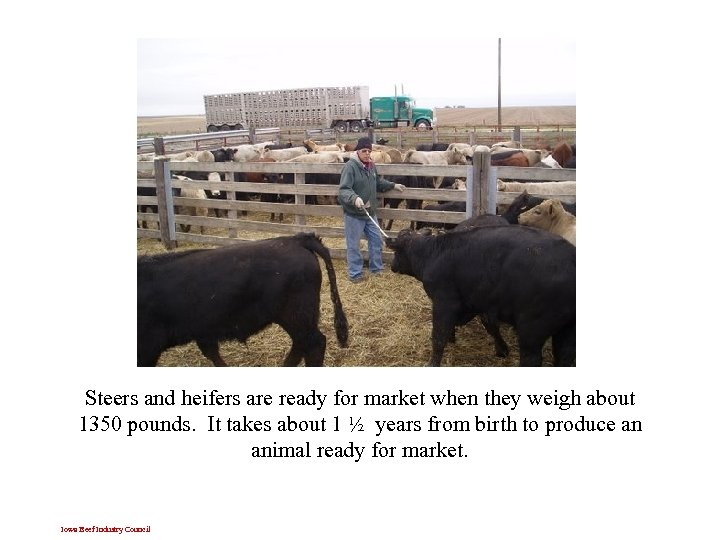 Steers and heifers are ready for market when they weigh about 1350 pounds. It