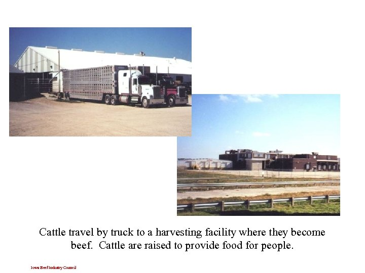 Cattle travel by truck to a harvesting facility where they become beef. Cattle are