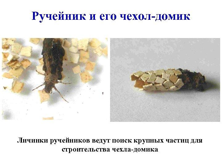 Ручейник и его чехол-домик Личинки ручейников ведут поиск крупных частиц для строительства чехла-домика