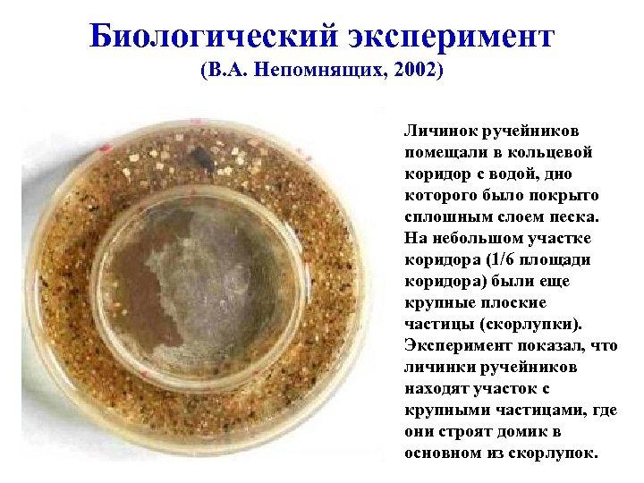 Биологический эксперимент (В. А. Непомнящих, 2002) Личинок ручейников помещали в кольцевой коридор с водой,