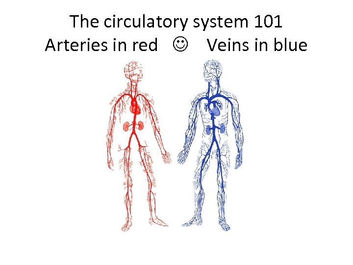 The circulatory system 101 Arteries in red Veins in blue