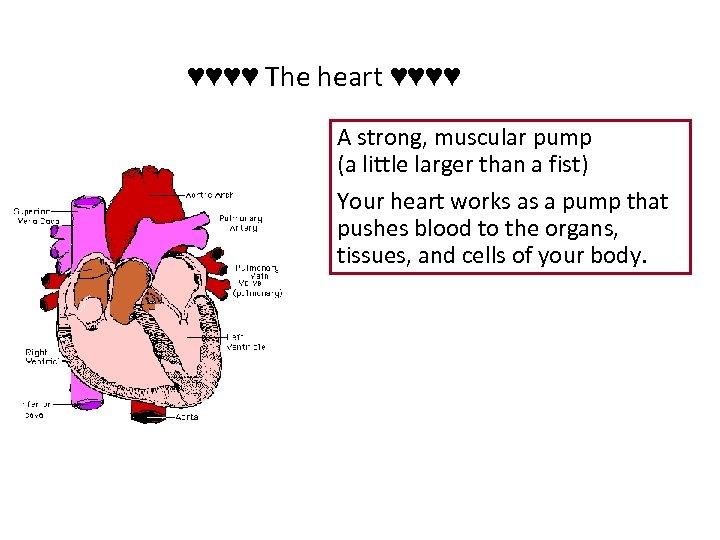 ♥♥♥♥ The heart ♥♥♥♥ A strong, muscular pump (a little larger than a fist)