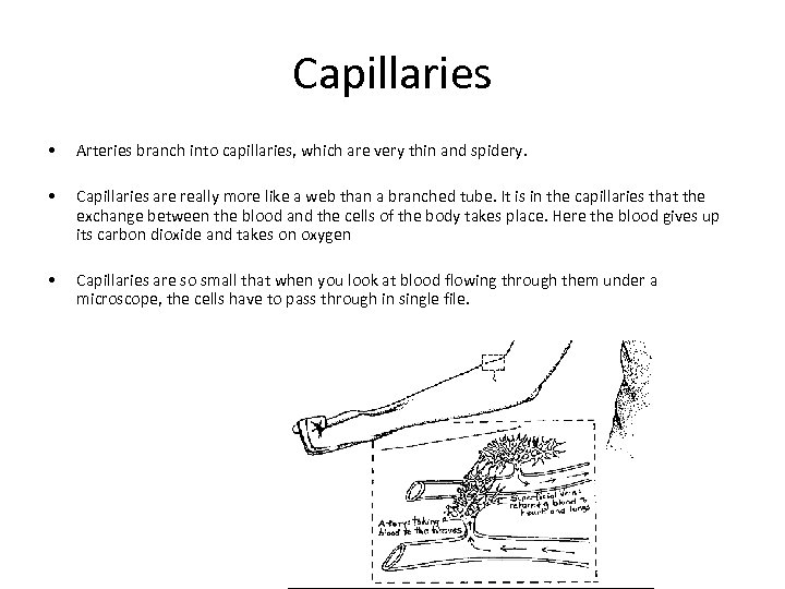 Capillaries • Arteries branch into capillaries, which are very thin and spidery. • Capillaries
