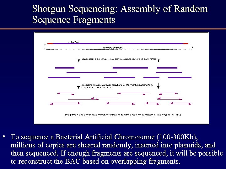 Shotgun Sequencing: Assembly of Random Sequence Fragments • To sequence a Bacterial Artificial Chromosome