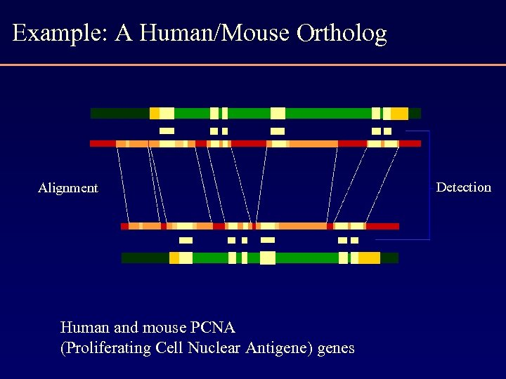 Example: A Human/Mouse Ortholog Alignment: Human and mouse PCNA (Proliferating Cell Nuclear Antigene) genes