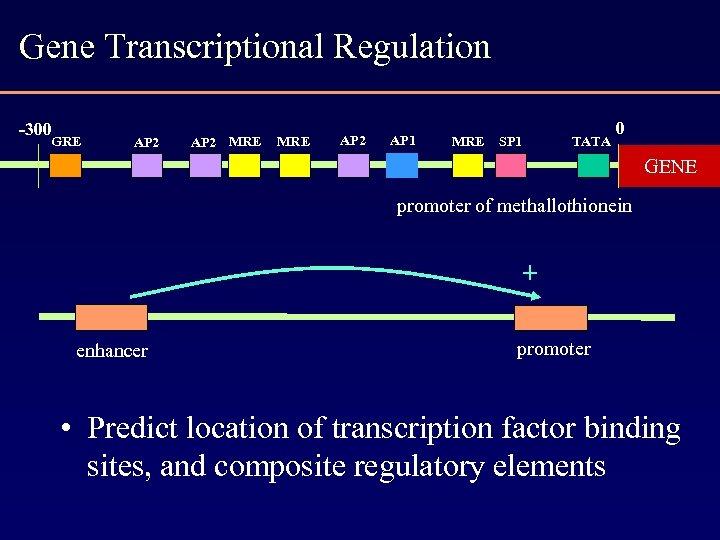 Gene Transcriptional Regulation -300 GRE AP 2 MRE AP 2 AP 1 MRE SP