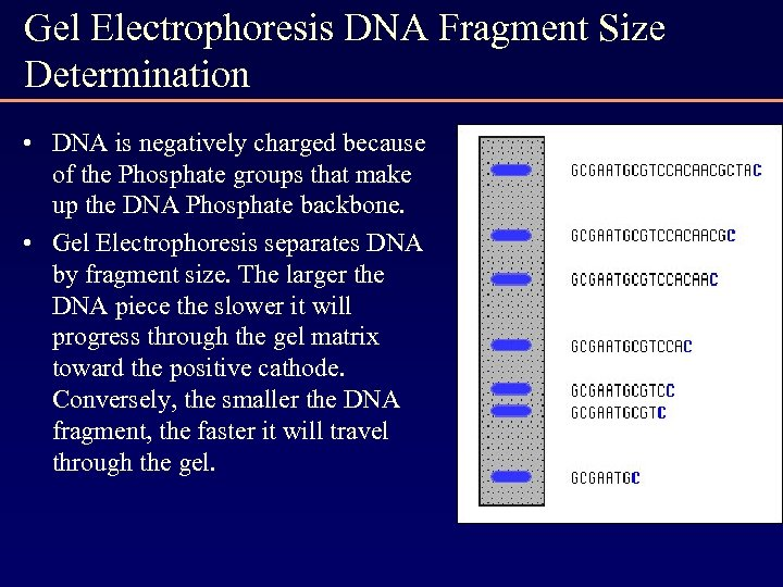 Gel Electrophoresis DNA Fragment Size Determination • DNA is negatively charged because of the