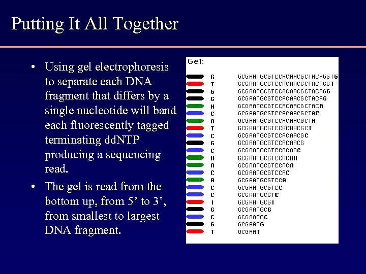 Putting It All Together • Using gel electrophoresis to separate each DNA fragment that