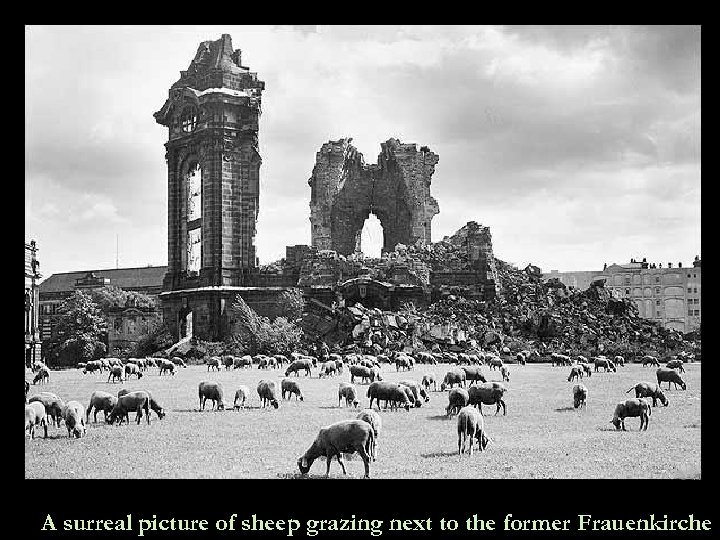 A surreal picture of sheep grazing next to the former Frauenkirche