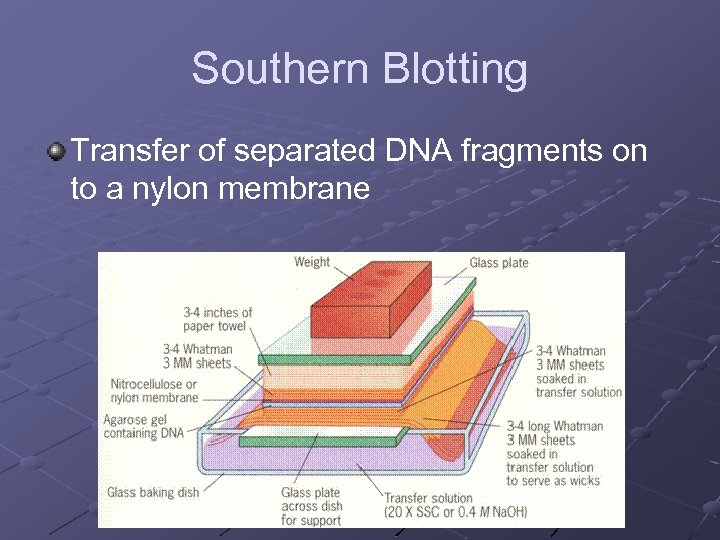 Southern Blotting Transfer of separated DNA fragments on to a nylon membrane