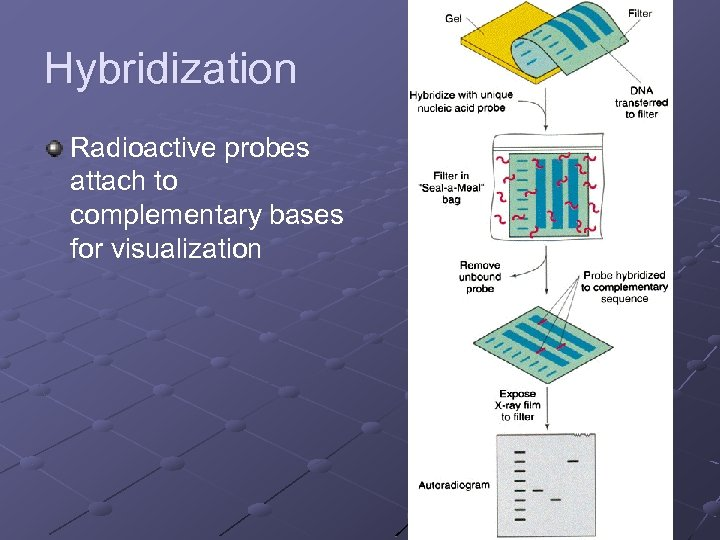 Hybridization Radioactive probes attach to complementary bases for visualization
