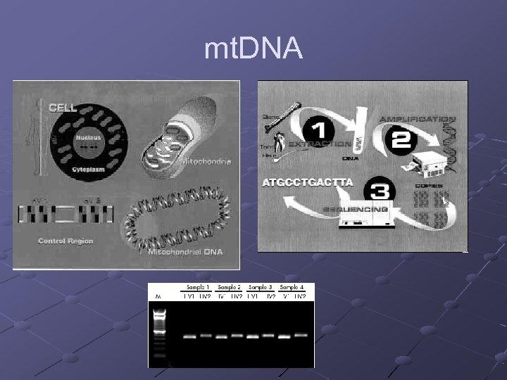 mt. DNA