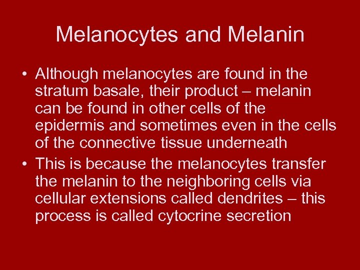 Melanocytes and Melanin • Although melanocytes are found in the stratum basale, their product