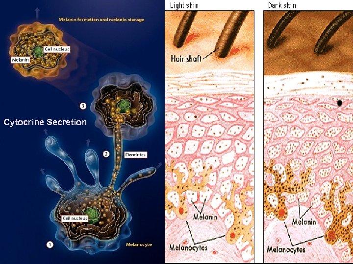 Cytocrine Secretion