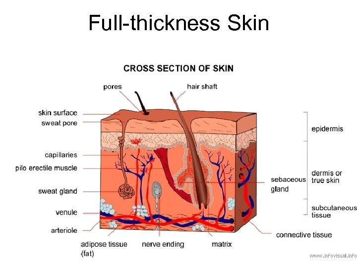 Full-thickness Skin