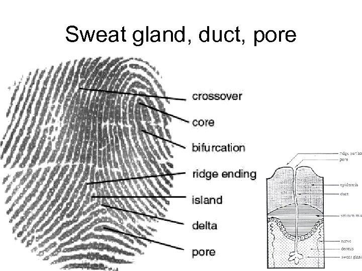 Sweat gland, duct, pore