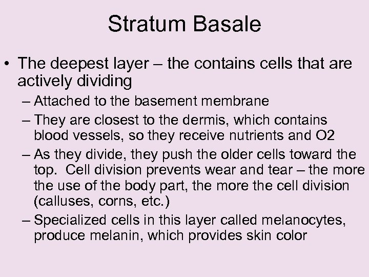 Stratum Basale • The deepest layer – the contains cells that are actively dividing
