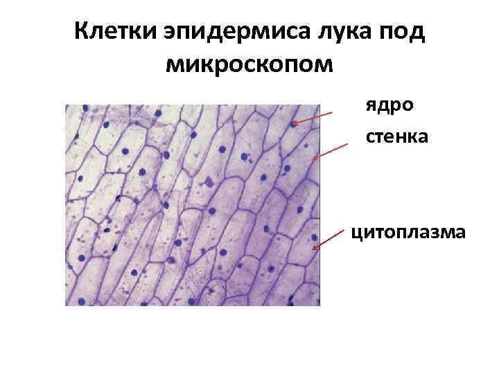 Картинки клеток кожицы лука