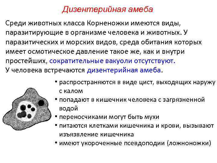Дизентерийная амеба Среди животных класса Корненожки имеются виды, паразитирующие в организме человека и животных.