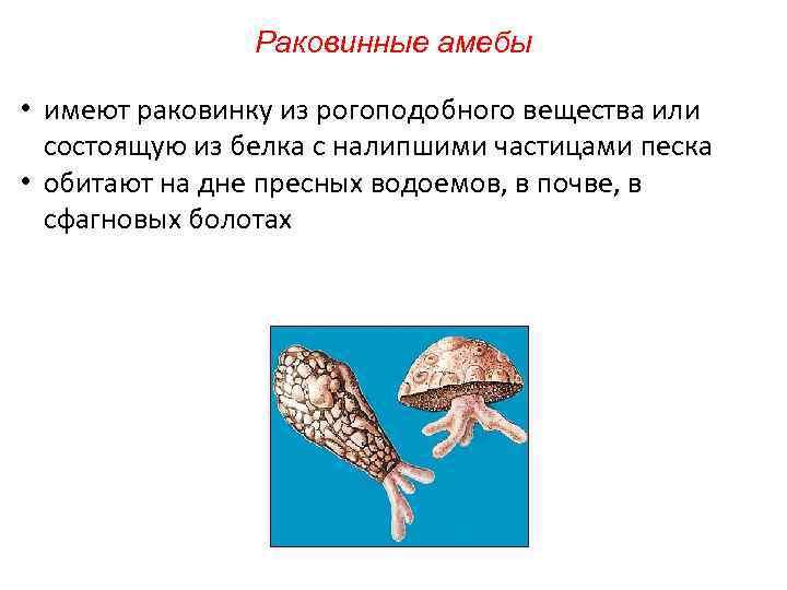 Раковинные амебы • имеют раковинку из рогоподобного вещества или состоящую из белка с налипшими