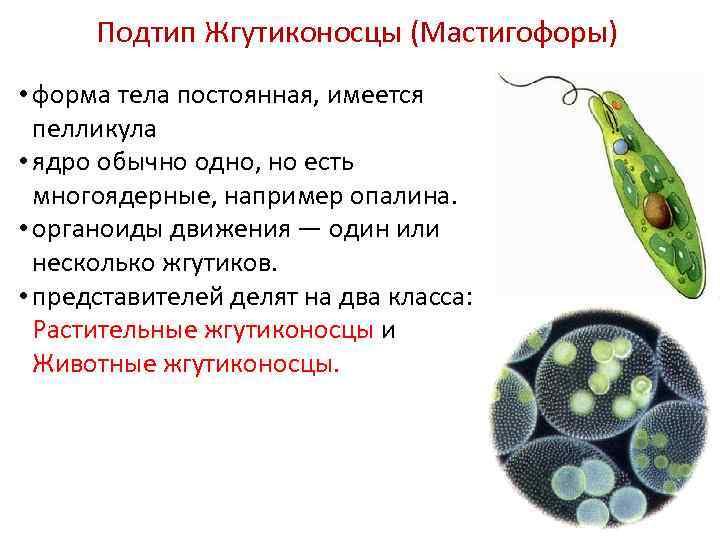 Подтип Жгутиконосцы (Мастигофоры) • форма тела постоянная, имеется пелликула • ядро обычно одно, но