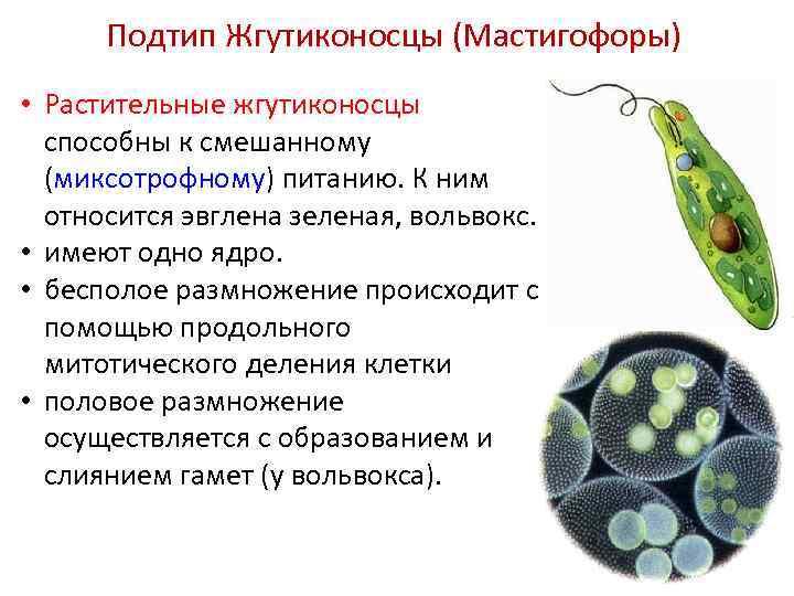Подтип Жгутиконосцы (Мастигофоры) • Растительные жгутиконосцы способны к смешанному (миксотрофному) питанию. К ним относится