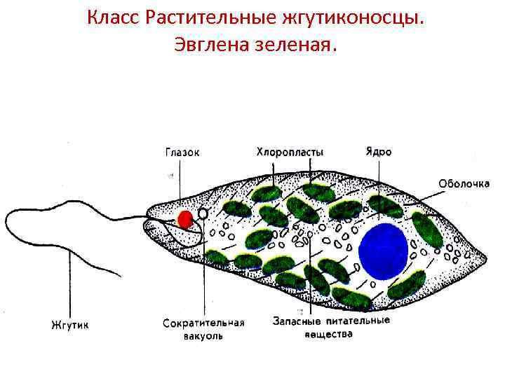 Класс Растительные жгутиконосцы. Эвглена зеленая.
