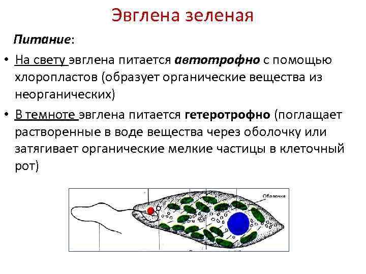 Эвглена зеленая Питание: • На свету эвглена питается автотрофно с помощью хлоропластов (образует органические