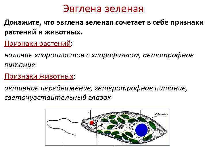Эвглена зеленая Докажите, что эвглена зеленая сочетает в себе признаки растений и животных. Признаки