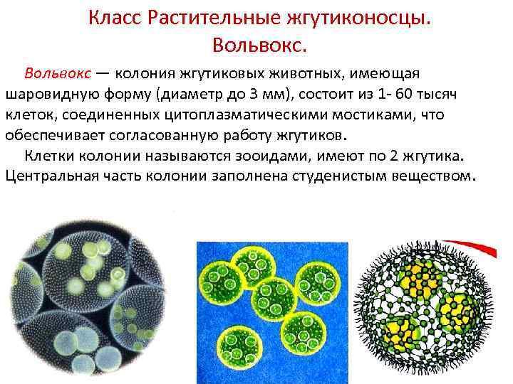 Класс Растительные жгутиконосцы. Вольвокс — колония жгутиковых животных, имеющая шаровидную форму (диаметр до 3