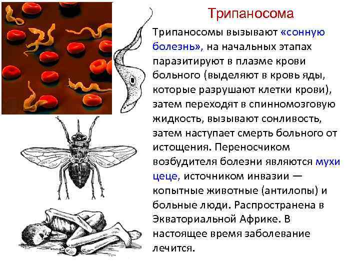 Трипаносома Трипаносомы вызывают «сонную болезнь» , на начальных этапах паразитируют в плазме крови больного