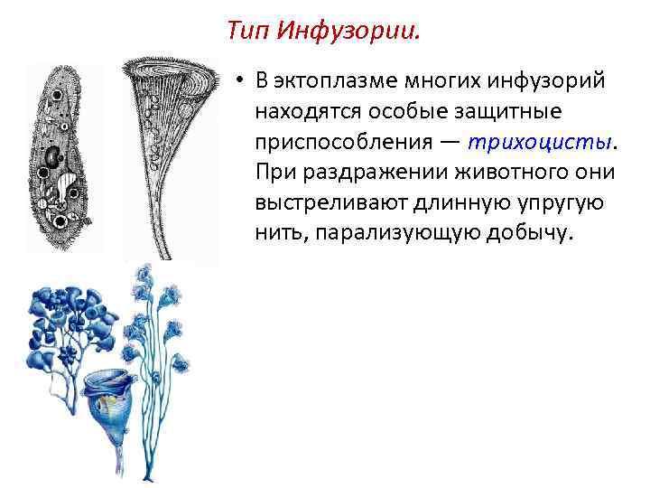 Тип Инфузории. • В эктоплазме многих инфузорий находятся особые защитные приспособления — трихоцисты. При