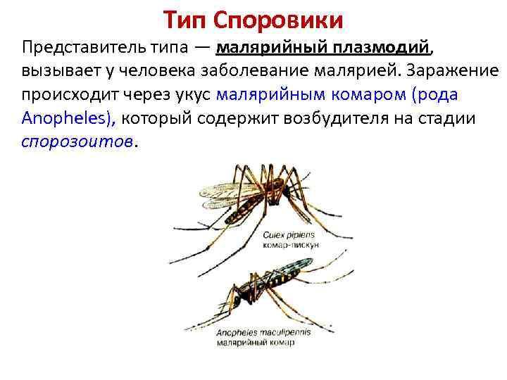 Тип Споровики Представитель типа — малярийный плазмодий, вызывает у человека заболевание малярией. Заражение происходит