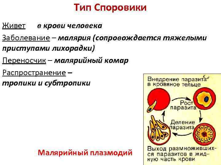 Тип Споровики Живет в крови человека Заболевание – малярия (сопровождается тяжелыми приступами лихорадки) Переносчик
