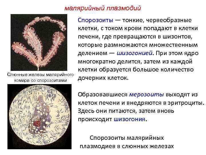 малярийный плазмодий Слюнные железы малярийного комара со спорозоитами Спорозоиты — тонкие, червеобразные клетки, с