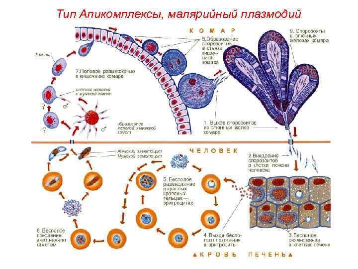 Тип Апикомплексы, малярийный плазмодий