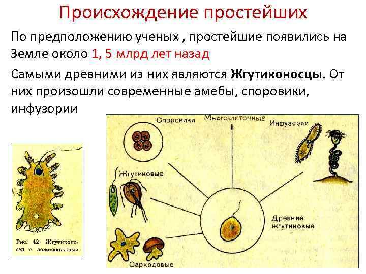 Происхождение простейших По предположению ученых , простейшие появились на Земле около 1, 5 млрд