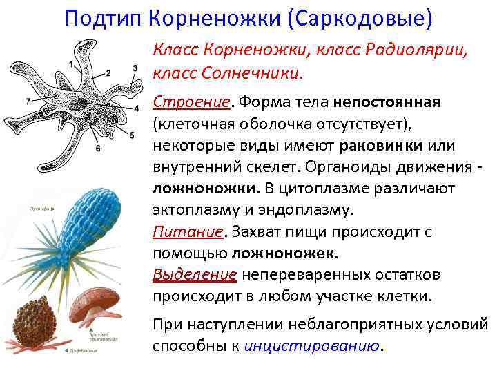 Подтип Корненожки (Саркодовые) Класс Корненожки, класс Радиолярии, класс Солнечники. Строение. Форма тела непостоянная (клеточная