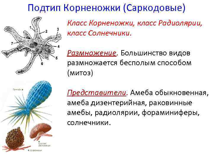 Подтип Корненожки (Саркодовые) Класс Корненожки, класс Радиолярии, класс Солнечники. Размножение. Большинство видов размножается бесполым