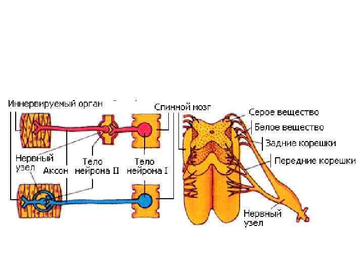 Схема иннервации вегетативной нервной системы5
