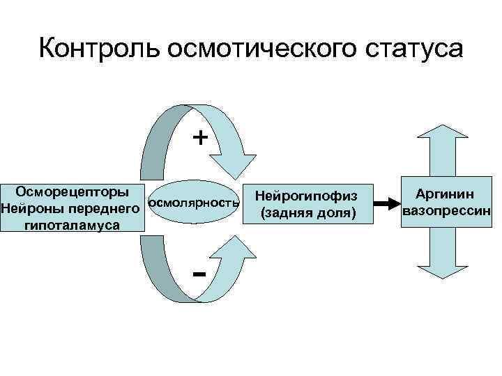 Контроль осмотического статуса + Осморецепторы Нейроны переднего осмолярность гипоталамуса - Нейрогипофиз (задняя доля) Аргинин
