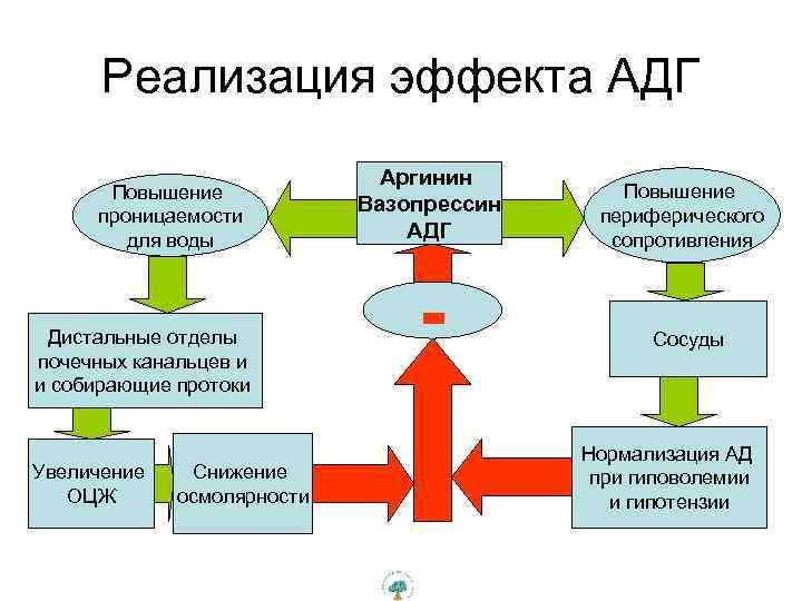 Реализация эффекта АДГ Повышение проницаемости для воды Дистальные отделы почечных канальцев и и собирающие