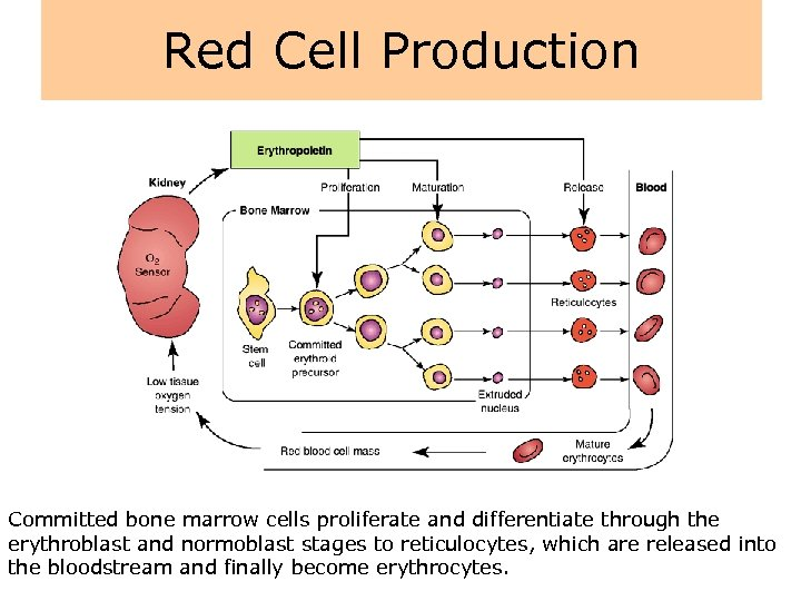 Red Cell Production Committed bone marrow cells proliferate and differentiate through the erythroblast and