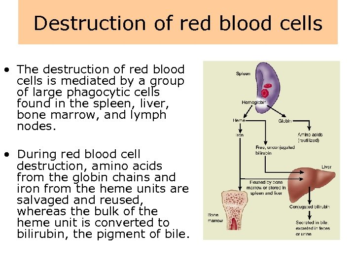 Destruction of red blood cells • The destruction of red blood cells is mediated