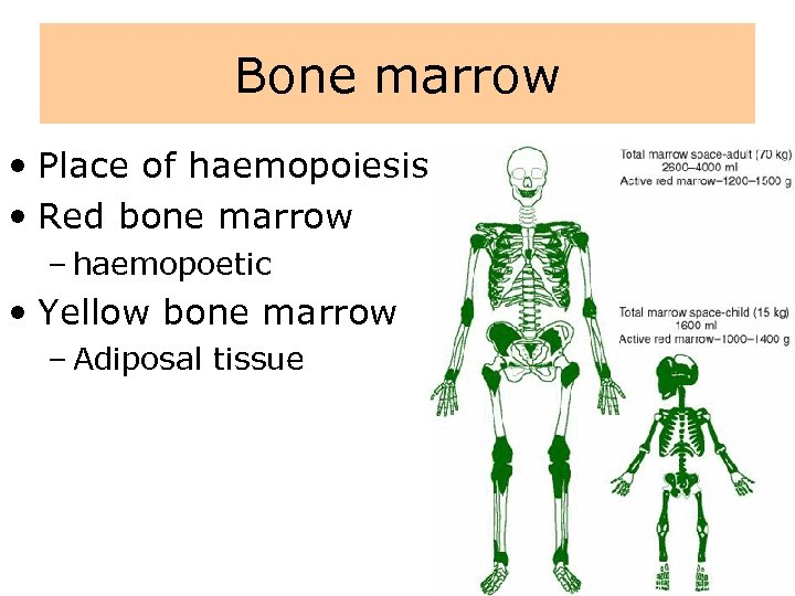 Bone marrow • Place of haemopoiesis • Red bone marrow – haemopoetic • Yellow